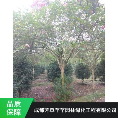 抗寒乔木紫薇树_绿化用盆栽紫薇树_芳草芊芊紫薇树苗木种植基地