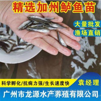 广东加州鲈鱼苗价格湖南加州鲈鱼苗订购热线