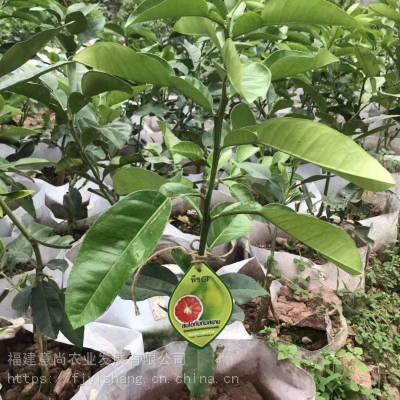 泰国红宝石青柚小苗 泰国红宝石青柚袋苗 泰国红宝石青柚苗