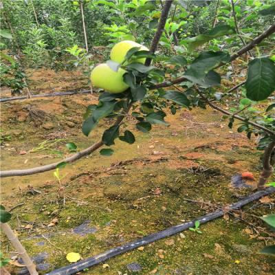 1公分2公分矮化苹果苗多少钱 盆栽苹果苗批发基地 苹果苗价格