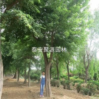 景区苏家苗圃(图)-出售从生五角枫哪里有-四川出售从生五角枫