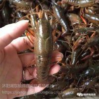 种虾 小龙虾 成品虾 青虾 青虾苗 养殖技术