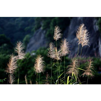 水生芦苇 芦苇根茎 水生植物批发