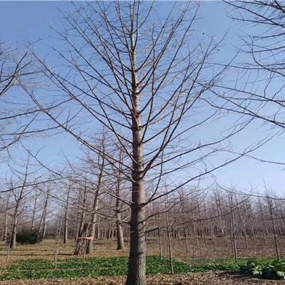 万宁银杏树价格-银杏树之乡-11公分银杏树价格