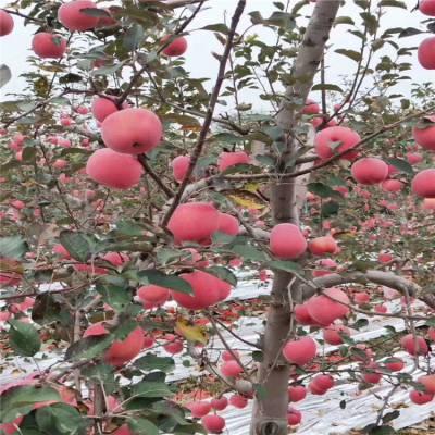 早熟苹果苗批发价格优惠 早熟苹果苗品种有哪些