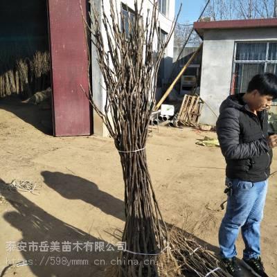 3公分夏玉梨树苗基地1年梨树苗栽培技术