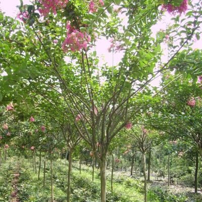 南京紫薇树_南京紫薇树价格