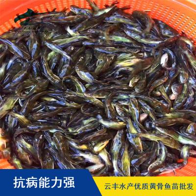 宁夏黄骨鱼苗供应价格 黄颡鱼苗养殖