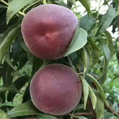 桃树苗基地 黑桃树苗价格 黑桃树苗多少钱一棵