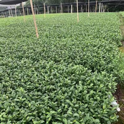 长沙市川茶茶苗-市场价格川茶茶苗