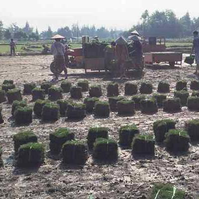 张家界批发剪股颖草坪,千亩草坪基地供应,及其他苗木