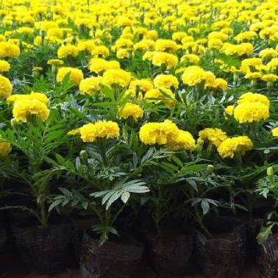 山东盆栽时令花卉基地,绿化用时令花卉种类有哪些