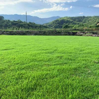 提供张家界马尼拉草皮真草坪基地批发