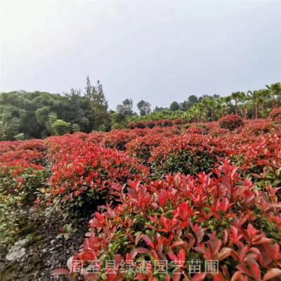 周至红叶石楠球批发 60-1.5米红叶石楠精球 好看的球形绿化苗木价格