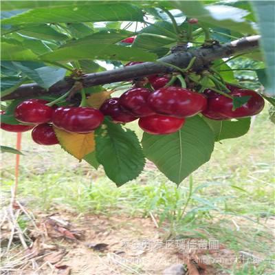 地径两公分拉宾斯樱桃苗 拉宾斯樱桃苗出售价格