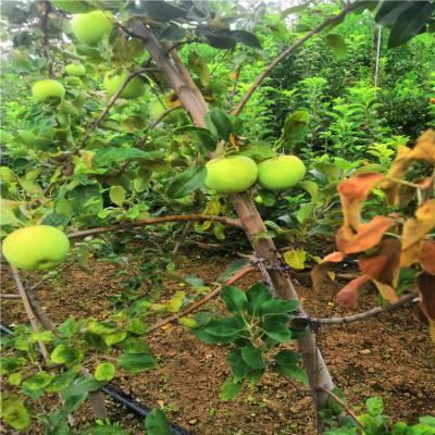 晚熟苹果苗多少钱 中秋王苹果苗批发基地 苹果苗价格