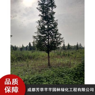庭院绿化耐寒水杉_芳草芊芊露地水杉_乔木水杉工程树苗批量供应