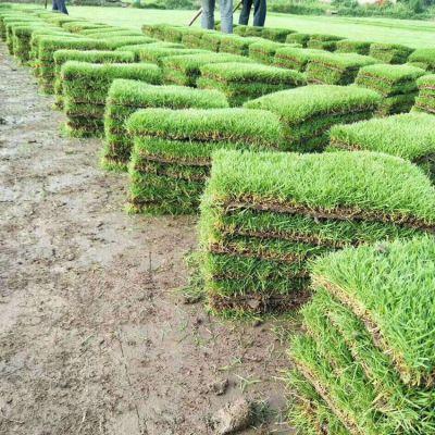 供应马尼拉草皮 台湾青草坪块 马尼拉/沟叶结缕草 园林绿化工程用的常用天然草种类 价格优惠