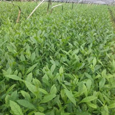 乐山市良种茶叶苗-批发供应茶苗价格