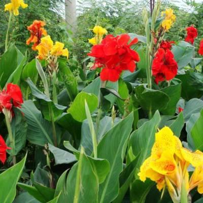 《帆顺水景》供应水生美人蕉 黄色美人蕉 金叶花叶