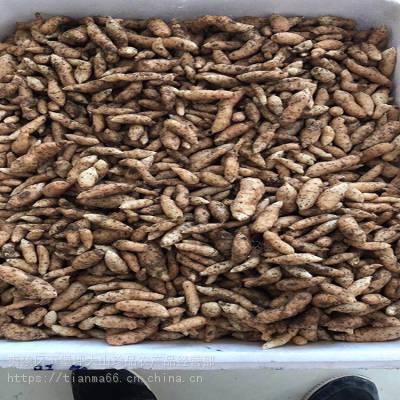 天麻种子繁殖技术 乌红天麻种子 乌天麻种植方法条件 大山珍品
