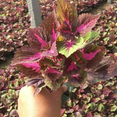 潍坊彩叶草供应商,红绒彩叶草,五彩苏品种有哪些