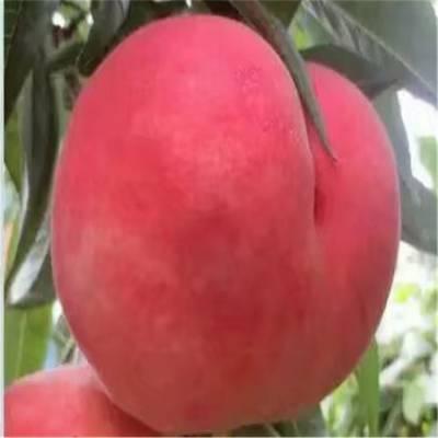 桃树苗种植咨询 桃树苗报价批发
