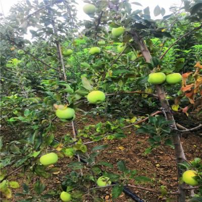 一年嫁接苹果树苗的价格-1米高苹果苗-山东苹果树苗信誉好
