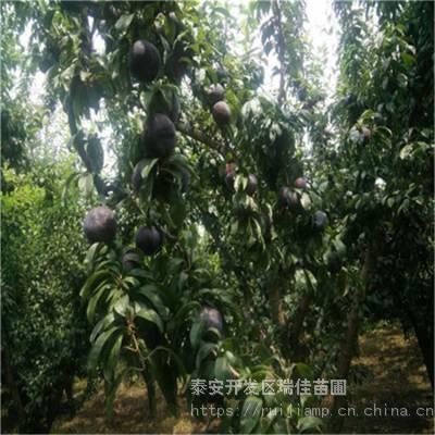 蜂糖李李子苗哪里便宜 矮化密植蜂糖李李子苗哪里便宜