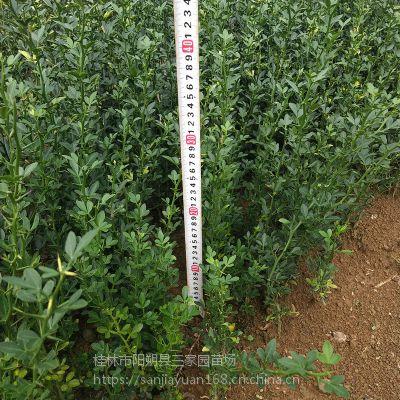一年生积壳小苗 20到40公分高积壳苗