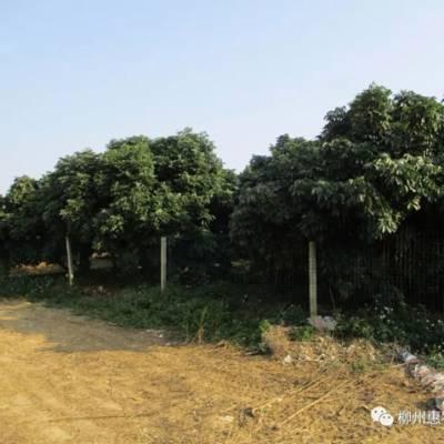 桂林皇帝柑黄龙病技术指导 欢迎咨询 惠农化工供应
