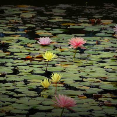 10cm开荷花 荷叶睡莲 水池水上漂浮莲花