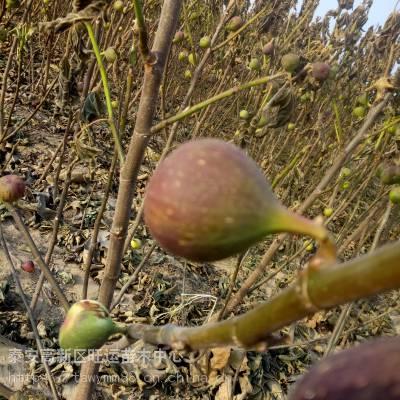 乐山市布兰瑞克无花果苗树三年无花果亩产质优价廉