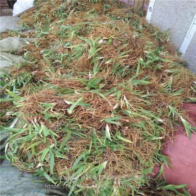 射干苗 扁竹苗 种植射干亩效益多少