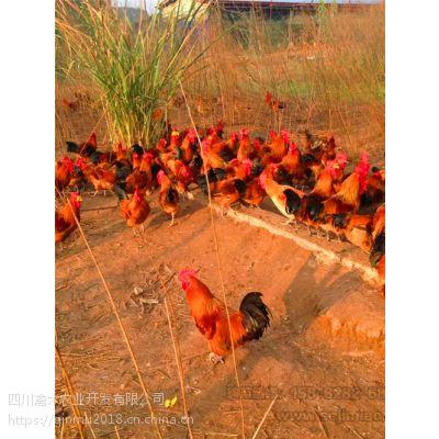 甘肃养殖2500只瑶鸡苗,优质鸡苗,可空运发货,价格从优
