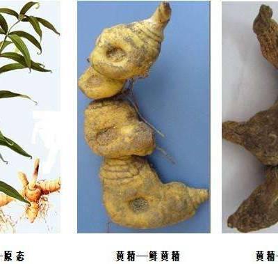 黄精种植-种植白芨网-黄精种植前景