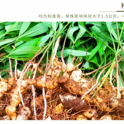 贵州原生态/仿野生红花大黄精种苗 老虎姜种苗 块径1.5公分上 成活率高