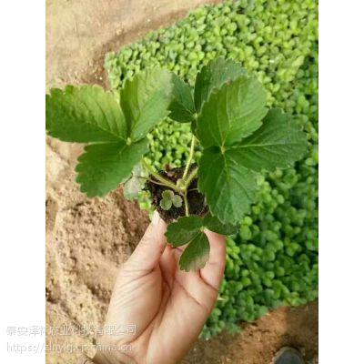山东草莓苗价格 草莓苗批发价格及育苗基地