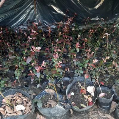 贵州50公分高奥尼尔蓝莓苗批发