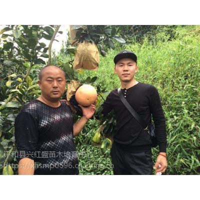 兴红盛三红蜜柚苗幼苗价格是多少