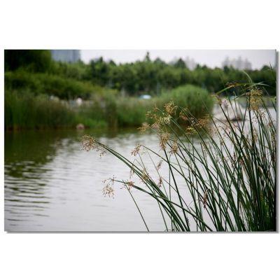 河北自产自销 园林水景植物金线水葱 长势喜人