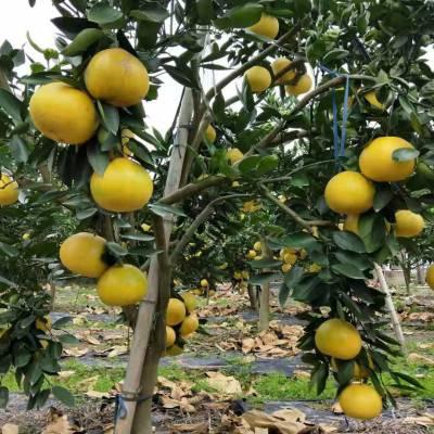哪里有甜葡萄柚苗出售/葡萄柚苗价格范围
