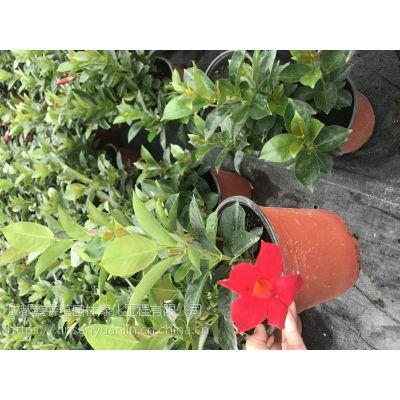 花盆种植 大小都有 飘香藤大量出售 飘香藤杯苗价格好