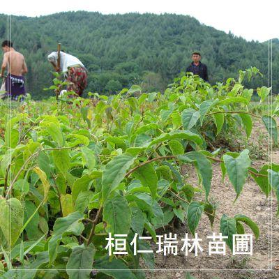 软枣猕猴桃树苗,软枣实生苗,圆枣子小苗
