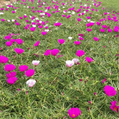 街道绿化花卉品种有哪些,街道花卉造型租摆施工