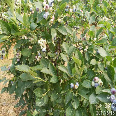 正一园艺场直销:优质蓝莓种苗 哪里可以买到蓝莓苗