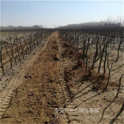 意大利黑梨苗怎么卖的 定植两年的意大利黑梨苗怎么卖的