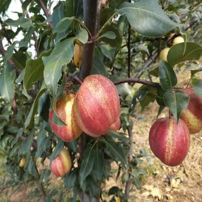 哪里能买到金果梨树苗 早红考蜜斯梨树苗哪里便宜