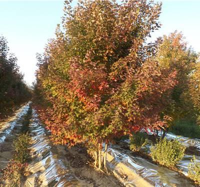 金枫绿化(图)-丛生红点红枫生长习性-丛生红点红枫