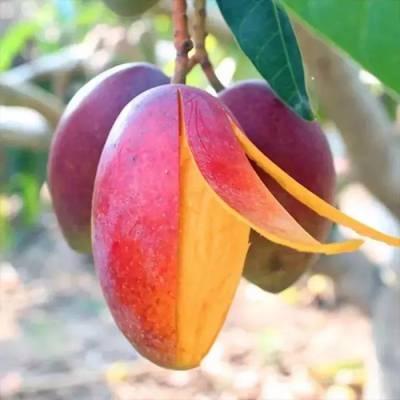 红贵妃又名红金龙芒果树苗批发 地苗营养杯苗大小规格都有 果丰果苗场